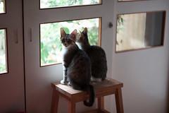 [ハチマロ通信] 仲良く小庭を観察するハチマロ (moriyu) Tags: japan tokyo nikon d700 cat 猫 ニコン 東京