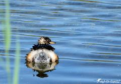 Grèbe Castagneux (Jean-Daniel David) Tags: oiseau oiseaudeau réservenaturelle nature eau étang lac lacdeneuchâtel grandecariçaie champpittet cheseauxnoreaz yverdonlesbains suisse suisseromande vaud bleu roseau reflet