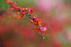 Autumn red (Baubec Izzet) Tags: baubecizzet pentax bokeh red nature fruit autumn