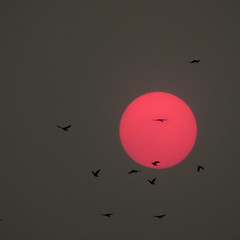 Smoked sunset, with crows (Reva G) Tags: sun red smoke haze grey crow bird flock silhouette evening sunset pollution wildfire