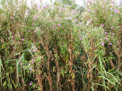 Pluizend wilgeroosje (Jeroen Hillenga) Tags: wilgeroosje bloemen flowers wildflowers wildebloemen lauwersmeergebied netherlands nederland natuur nature natuurgebied natur harigwilgenroosje epilobiumhirsutum