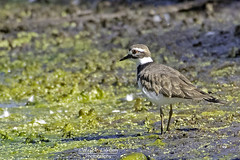 Killdeer foraging -Explore (Patrick Dirlam -Thanks for the 1 million views!) Tags: northcounty trips atascaderolake birds waterbirds killdeer explore explored