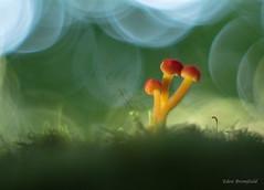 Colorful Trio (Eden Bromfield) Tags: hygrocybe mushroom fungus bokeh vintagelens meyeroptikgörlitzoreston5018earlytwinzebram42 nature forestfloor colorful light yellow red