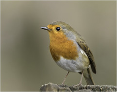 Robin (Charles Connor) Tags: europeanrobin robin wildbirds tinybirds beautifulbirds birdphotography birds naturephotography naturalbeauty nature wildlifephotography canondslr