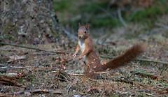 DSC05409rawcon_a (ger hadem) Tags: gerhadem veluwe eekhoorn kruisbek goudvink zwijn edelhert hubertus