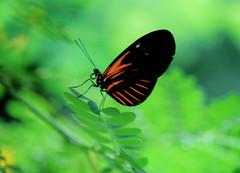 Butterfly-Papallona (toni baeza oto) Tags: butterflyempúriesag2018 papallona estiu
