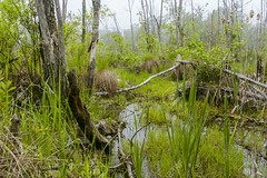 Foggy Swamp (tanyapavlicapschyrembel) Tags: swamp leaves tree america conservation calm vivid lake fog foggy eery ecosystem woods wetlands lagoon flora spooky moody reflection colours mood scenic country plants beautiful water nature environment pretty overgrown dead fallen marsh landscape spring springtime summer forest