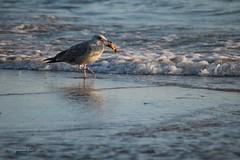 Dänemark 2018 (jasmina20011) Tags: möve dänemark vogel wasservogel meer krebs wasser urlaub strand abend
