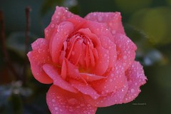 Say Goodbye to the Summer (Anton Shomali - Thank you for over 1 million views) Tags: cool color flickr flowers beauty beautiful droplets drops weather season colours colors rainy rain say goodbye summer saygoodbyetothesummer wet pink rose flower wetpinkroseflower