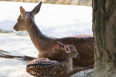 Fawn and mother on Miyajima Island, Japan (mistermacrophotos) Tags: deer mother fawn bambi animals cute island japan hiroshima asia calm ears baby quiet tame beach new sika itsukushima kawaii hjort sacred