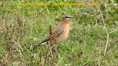 Northern Wheatear with Juveniles (Oenanthe oenanthe) VIDEO (Brian Carruthers-Dublin-Eire) Tags: northern wheatear oenanthe northernwheatear oenantheoenanthe chats old world flycatchers muscicapidae traquet motteux steinschmatzer collalba gris tapuit clochrán passeriformes traquetmotteux collalbagris bird animalia animal wildlife aves avian nature passerine passerinebird wexford ireland eíre irish birdwatchireland birdwatch grass rock landscape food