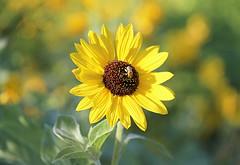 Perfect Summer Day! (Through Serena's Lens) Tags: 7dwf crazytuesdaytheme pollen bee insect outdoor dof bokeh petals sunflower flower yellow plant nature sunny summer august canoneos6dmarkii closeup