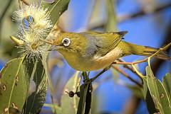 small bird series: the silivereye (Fat Burns ☮ (gone bush)) Tags: silvereye zosteropslateralis bird fauna australianbird australianfauna smallbird oxleycreekcommon nikond500 afsnikkor200500mmf56eedvr wildlife australianwildlife