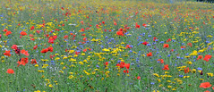 the 14 acre wild flower meadow at Mount Stewart (conall..) Tags: wildflowers meadow nationaltrust mount stewart strangfordlough greyabbey mountstewart countydown annuals
