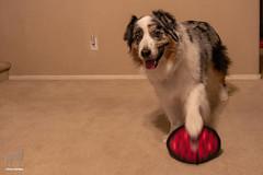 Ball Skills (Jasper's Human) Tags: aussie australianshepherd dog oddball spin skills tuffy