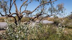 Pelican Point Flora (lemien) Tags: rivor plant outback desert travel oztourssafaris australia centralaustralia flower flora birdsville queensland au