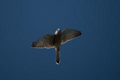 _DSC3632.jpg (sylvainbenoist) Tags: nature chordés oiseaux falconiformes neognathes fauconcrécerelle animaux falconidés aves birds chordata commonkestrel falcotinnunculus falconidae