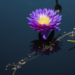 Water Lily Flower thumbnail