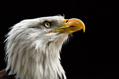 looking skyward (jeff.white18) Tags: baldeagle eagle bird nature birdofprey preditor nikon feathers portrait eye beak raptor flickr