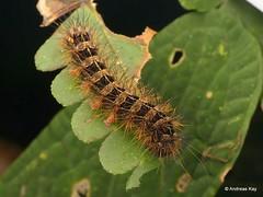 Spiny caterpillar (Ecuador Megadiverso) Tags: andreaskay birdwatcherslodge caterpillar ecuador mindo spiny