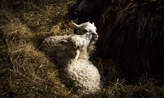 Sleep (Elin Laxdal) Tags: lamb sheep sleep newborn spring hay mother colour iceland lambing lambingseason dear innocence