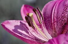basking (Vanessa wuz Here) Tags: 7dwf 90mm macro macroflowers universityofalbertabotanicalgarden lily devon devoniangarden alberta summer shadows garden flora flowers copyrightvanessabartosek