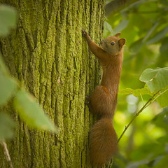 Red squirrel (hedera.baltica) Tags: squirrel redsquirrel eurasianredsquirrel wiewiórka wiewiórkapospolita sciurusvulgaris