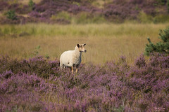 Flowering Heather (Thijs de Bruin) Tags: flowering bloeiende heide heather purple sheep schaap grass green kalmthout belgie