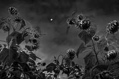 (Mr. Tailwagger) Tags: leica m10 summilux 50mm bc asph sunflowers moon clouds