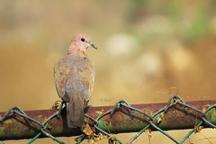Laughing Dove (pani_mail) Tags: dove
