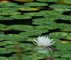 Water Lily (piranhabros) Tags: waterlily flower nymphaea nymphaeaalba plant pond