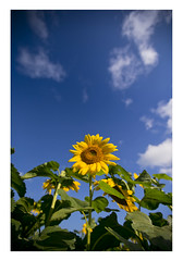 Sunflowers, Sussex County, New Jersey (danny wild) Tags: flowers summer sunflowers sunflower newjersey