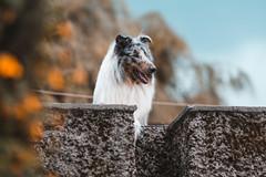 Doggie. (Gerardo Nava Fotografía) Tags: alpha a77ii sony sonyflickraward sonyalpha sonyméxico sonya77ii sonyalphamexico dog doggie doggy domesticos animales perro pet perrito collie méxico bokeh sal135f18z sonnart18135za sonyzeiss zeiss zeisslens sonnart1835