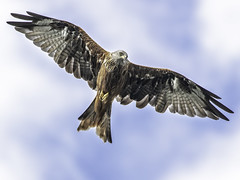 MKA_4863acsl (kilyy) Tags: red kite ngc