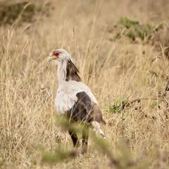 Curved beak (Nagarjun) Tags: secretarybird sagittariusserpentarius bigbird avifauna feathers nairobinationalpark gamedrive savannah kenya