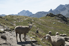 Solo trekking Vallée de la Clarée (Kitty Terwolbeck) Tags: france alps hautesalpes valleedelaclaree mountains trekking hiking nature outdoors animals sheep mouton