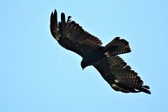 DSC01069  林鵰  Indian Black Eagle (smalltsj) Tags: indianblackeagle ictinaetusmalayensis 林鵰 稀有留鳥 第二級保育類