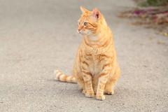 IMG_0090 Rubio, Mallorca (Fernando Sa Rapita) Tags: canon eos1300d sigma sigmalens mallorca sarapita cat gato mascota pet canoneos