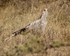Bird of prey (Nagarjun) Tags: secretarybird sagittariusserpentarius bigbird avifauna feathers nairobinationalpark gamedrive savannah kenya