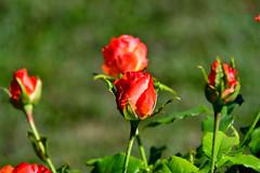 Toujours des boutons (Diegojack) Tags: vaux suisse echandens d500 nikon nikonpassion automne plantes fleurs boutons roses bokeh