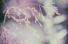 ///... (_elusive_mind_) Tags: colorfineart gras plants dreamy sehnsucht lights sun lichter grass