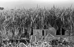 Rice crop (odeleapple) Tags: nikon f2 nikkor 50mm yellowfilter kodaktmax100 film monochrome analog bw rice ear crop field
