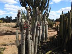 Cactus Country, Strathmerton 1419 (Lesley A Butler) Tags: victoria strathmerton cactuscountry cacti australia