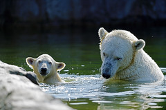 Eisbär (Michael Döring) Tags: gelsenkirchen bismarck zoomerlebniswelt zoo eisbär polarbear afs600mm40e d850 michaeldöring inexplore