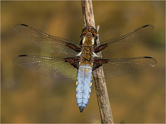 Broad Bodied Chaser (Paul West ( pwest.me )) Tags: broadbodiedchaser dragonfly dragon nature brockholes riverside countryside naturelovers wildlife wildlifepics macro wildlifepictures wildlifephotographer wildlifephotography naturephotography naturepictures naturephotographer birdphotography wildlifephoto animal naturephotoportal poultonphotosoc photography wildlifeplanet intothewild wildlifeperfection naturephoto naturepics naturepic followme naturecollection natureseekers