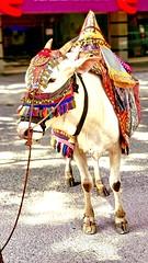 The Indian goddess (La vita e bella; la vita e amore) Tags: ganeshchathurthi indianculture indianstreet indianart indiancow bangalore indianfestival india samsunggalaxys9plus