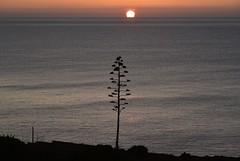 Sonnenaufgang an der Küste von Luz (Lagos); Algarve, Portugal (13) (Chironius) Tags: luz algarve portugal atlantik atlantischerozean atlanticocean landschaft morgendämmerung sonnenaufgang morgengrauen утро morgen morning dawn sunrise matin aube mattina alba ochtend dageraad zonsopgang рассвет восходсолнца amanecer morgens dämmerung asparagales asparagaceae spargelgewächse agavoideae agavengewächse wasserspiegel