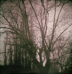 El árbol del gallinero (barbara bezina) Tags: ilforddelta certophot film mediumformat 120mm analog homedeveloped barbarabezina