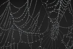Still life (Rob Blanken) Tags: insecten spin web dew droplets