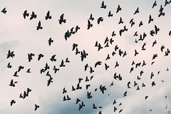 Animal avian bird - Credit to https://homegets.com/ (davidstewartgets) Tags: animal avian bird crow flight flock fly outdoors plumage raven silhouette sky waterfowl wildlife wing